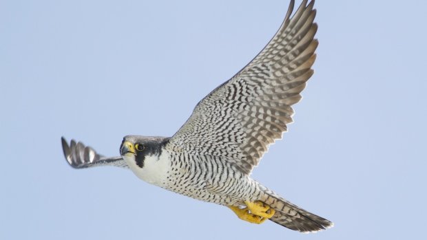 When it rains, adult falcons crouch above their chicks, wings spread like a canopy, to keep them dry. But warmer temperatures and more frequent heavy rains in the Arctic are, in some cases, forcing adult falcons to give up on their chicks. (Erik Hedlin)