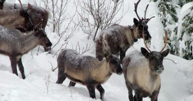 An environmental group says more needs to be done to prevent an iconic Canadian animal from going extinct. The woodland caribou is at risk due to loss of its habitat. (B.C. Forest Service/Associated Press)