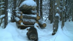"Trail cam photo of wolverine ""M2″ leaves a trap with a bit of bait meat. The traps have to be built with large logs, as an angry wolverines can chew and scratch their way through these logs in less than 24 hours. Scrafford says the traps are checked twice a day.(temperature recorded at time of photo was -26C )"
