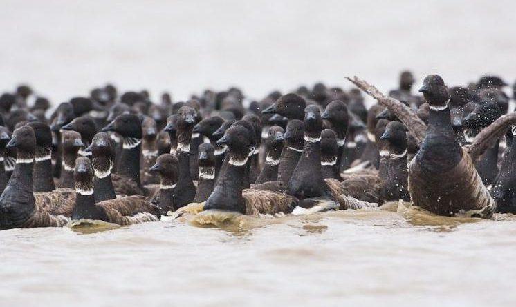 Black brant geese. (Tyler Lewis / USGS / Alaska Dispatch)