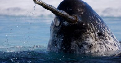 Male narwhals have a straight tusk that can measure up to 2.5 metres long. (Paul Nicklen/Getty Images)