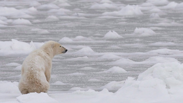 Meetings scheduled for Feb. 12 in Inukjuaq, Que. could produce the first total allowable harvest for polar bears in Nunavik. Right now, there is a voluntary quota in place of 60 bears from the southern Hudson Bay polar bear population, which is shared by Quebec, Ontario and Sanikiluaq. (CBC.ca)