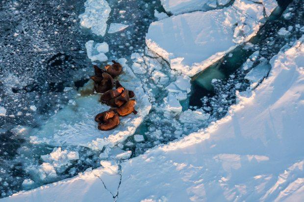 Walrus on sea ice in the Bering Sea. (Loren Holmes / Alaska Dispatch)