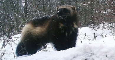 Wolverines are the largest of the weasel family, about the size of a medium-size dog, but are extremely strong, agile, and seemingly fearless. They were sought by trappers for their fur which is resistant to frost and so prized as lining around the hoods of winter parkas. (Jeff Ford- /AP/CP)