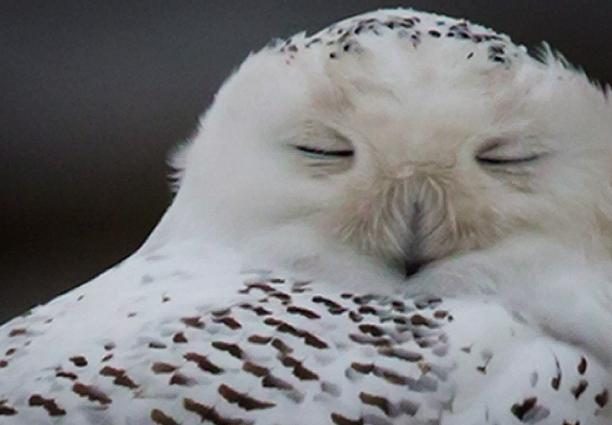 A snowy owl rests on the shore of Boundary Bay in Delta, B.C., on Dec. 1. (Daryl Dyck//The Canadian Press)