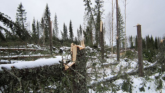 Last year storms blew down thousands of trees and now warm weather is muddying dirt roads, making removing downed logs harder. (Marcus Frånberg/Sveriges Radio)