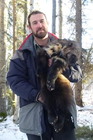 University of Alberta biologist Matt Scrafford and drugged wolverine. Note the very wide paws which act like snowshoes and help it to travel through deep snow (Brad Smith)
