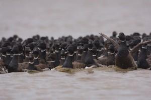 Black brant geese molt on the North Slope's Teshekpuk Lake. (Tyler Lewis/ USGS / APRN)