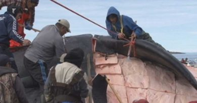 Iqaluit hunters cut up a bowhead whale in 2011. A new study of Nunavut's food security problems is calling for increased support for the territory's hunters and fishers. (CBC.ca)