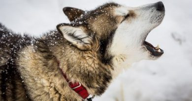 They won't be breaking any speed records, but a handful of Iditarod mushers keep coming back to Siberian huskies, the loyal, hardworking, sturdy breed that for decades has defined dog mushing in the North. (Loren Holmes / Alaska Dispatch)