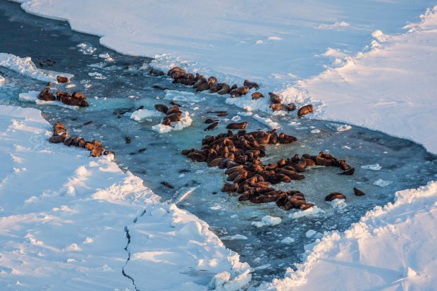 Walrus hauled on on sea ice near King Island in Alaska. (Loren Holmes / Alaska Dispatch)