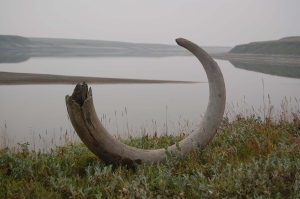 This mammoth tusk was extracted from ice deposits along the Logata River in Russia. DNA analysis was performed on the stomach contents of some well-preserved remains of Ice Age mammoths, woolly rhinos and horses. (Per Moller/Johanna Anjar)