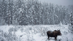 A Yukon biologist says a recent warm spell has created a hard crust of ice in the southern territory which could cause problems for moose and caribou. (CBC)