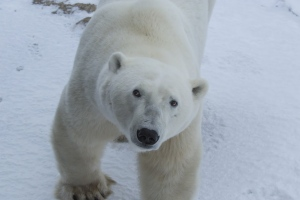 Google Street View captured images of wild polar bears in their natural environment at Cape Churchill in northern Manitoba during their annual gathering in October and November. (Google / CBC.ca)