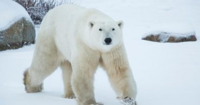 In an effort to bring awareness to climate change, conservation group Polar Bears International has teamed up with Google Street View to capture the impact on polar bears in Churchill, Man. (Google Street View)
