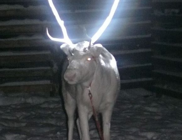 A reindeer whose antlers have been treated with a reflective spray. (Anne Ollila / BO / Yle)