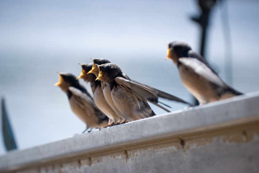 Five young barn swallows  as their mother approaches with food. (iStock)