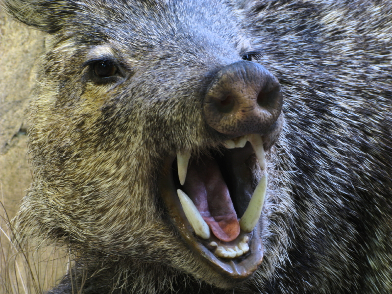 Wild boar incidents are increasing in southern Sweden. (iStock)