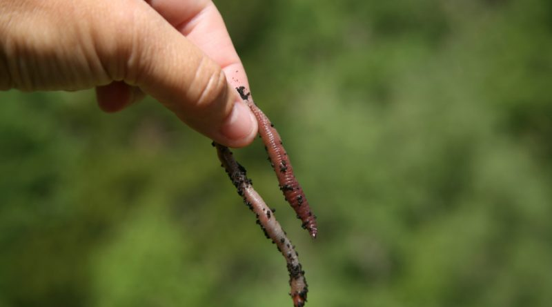 Researchers are asking for Northerners to call in any worm sightings along with photographs and locations where worms have been found. (iStock)