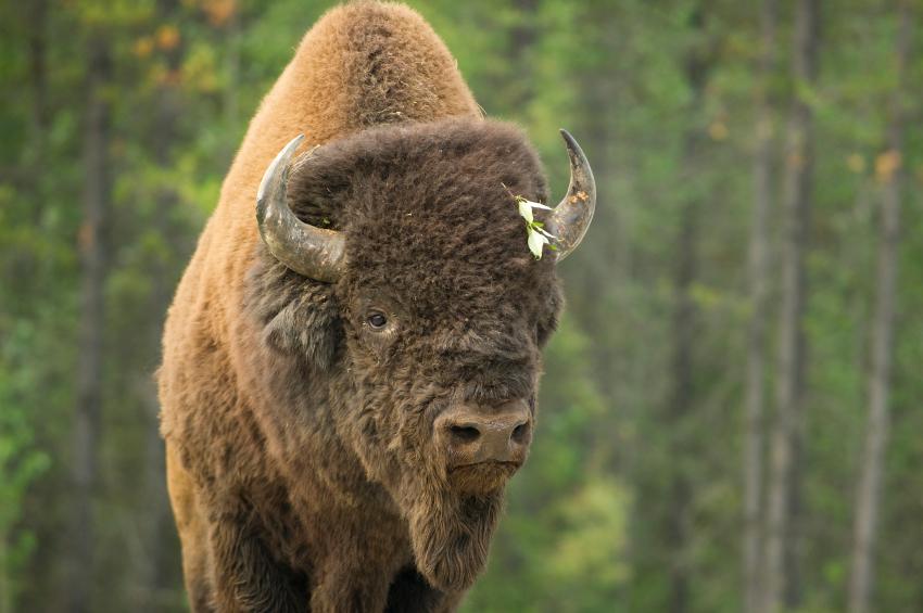 A bison in Canada's northwestern Yukon territory. (iStock)
