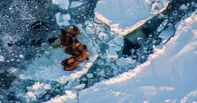 Walrus hauled out on the sea ice near King Island. The island is located in the Bering Sea, which saw significantly less sea ice form this year. March 13, 2013 (Loren Holmes / Alaska Dispatch)