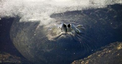 The Saimaa ringed seal is extremely endangered. (Yle)