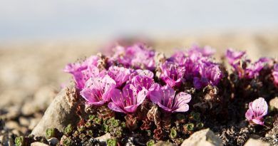 Purple saxifrage struggles to flower between the rocks. (Katriina O'Kane / Canadian Polar Commission)
