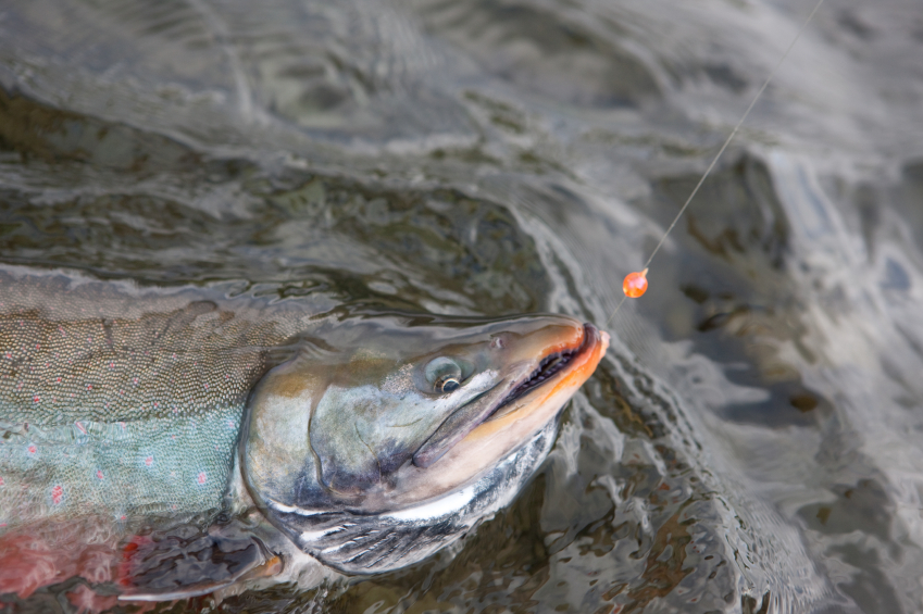 An Arctic char in Alaska, one of the fish species researched in a new study looking at contaminants. (iStock)