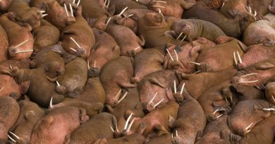 Walruses sunbathing together on the beaches of Round Island, Walrus Islands State Game Sanctuary in Bristol Bay, Alaska, USA. (iStock)