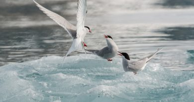 Arctic tern (pictured here in the Norwegian Arctic) are among the 27 species of birds studied by researchers who say the Arctic is not big enough for both birds and increased shipping traffic. (iStock)