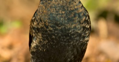 The sharp decline in the rusty blackbird population is perplexing researchers. (iStock)