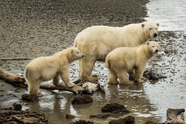 A polar bear mother and her cubs exploring the beach in Kaktovik on Sept. 7, 2012. A new study narrows the timeline for when polar and brown bears diverged from a common ancestor. (Loren Holmes / Alaska Dispatch)
