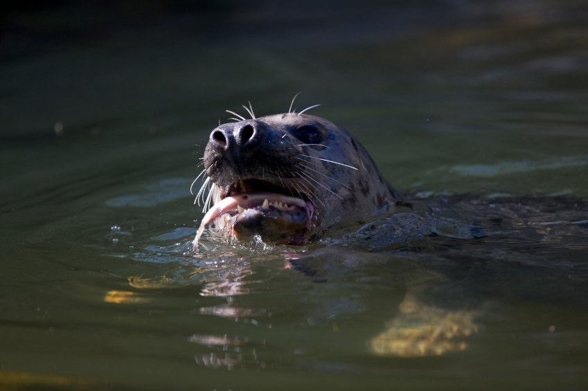 A gray seal eating a fish in the Baltic Sea. Four hundred gray and harbour seals can be culled up until the end of 2014 (iStock)