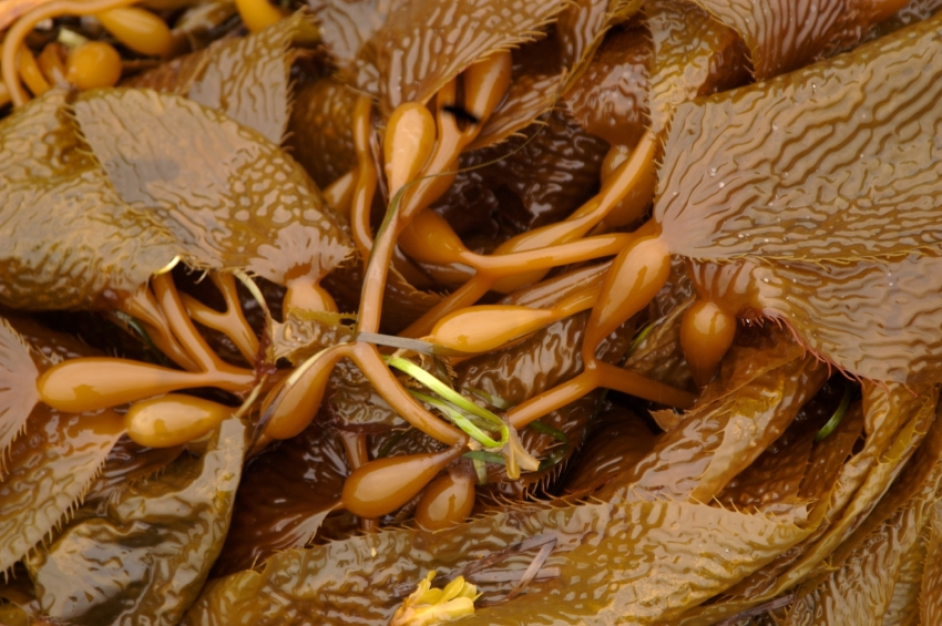 Pacific Kelp close up on the shores of Sitka, Alaska during low tide. (iStock)