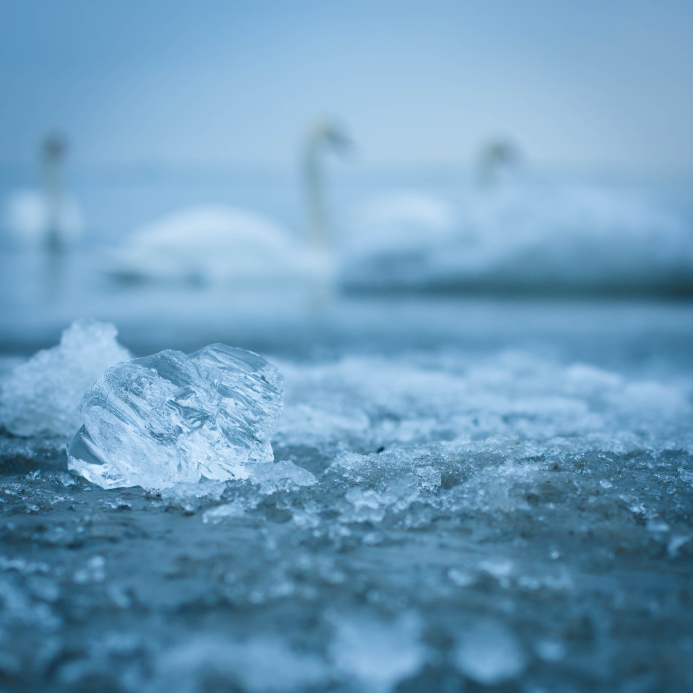 Swans swimming in Finland. (iStock)
