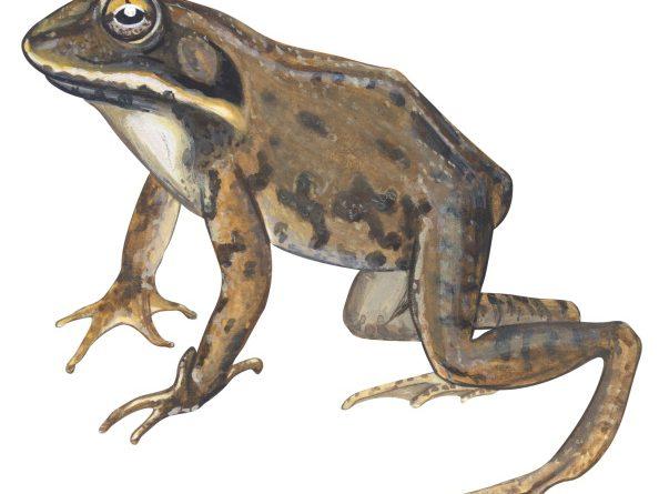 Wood Frog (Lithobates Sylvatica). (UIG via Getty Images)