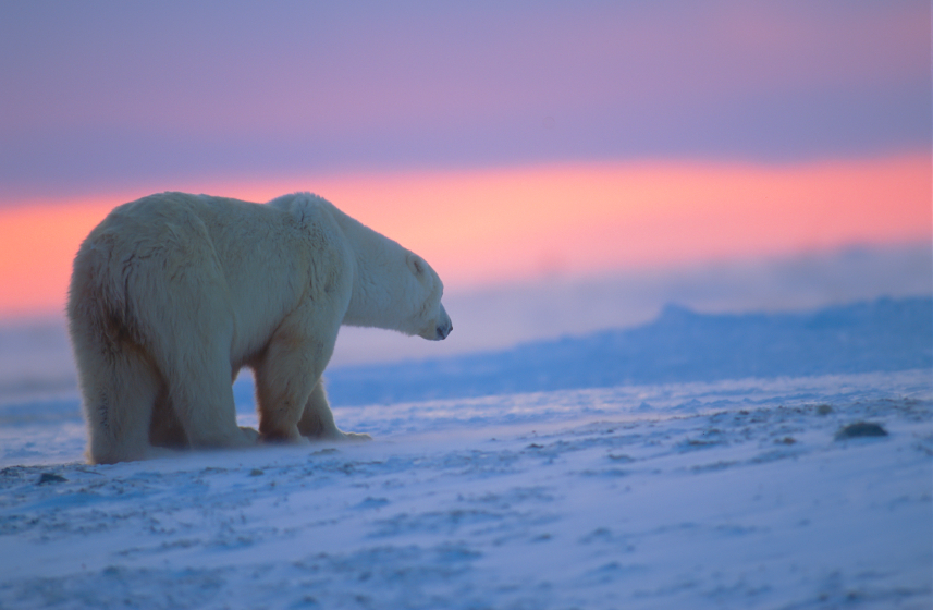 A polar bear at sunset in the Canadian Arctic.  (iStock)