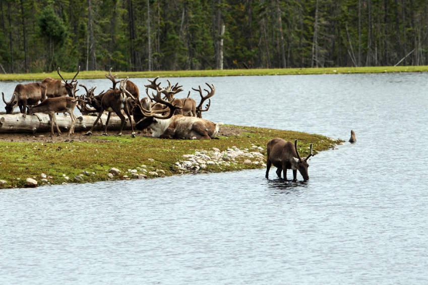 A Canadian board says total protection for caribou calving and post-calving grounds is needed along with a reduction in the pace of development throughout the caribous' range.(iStock)