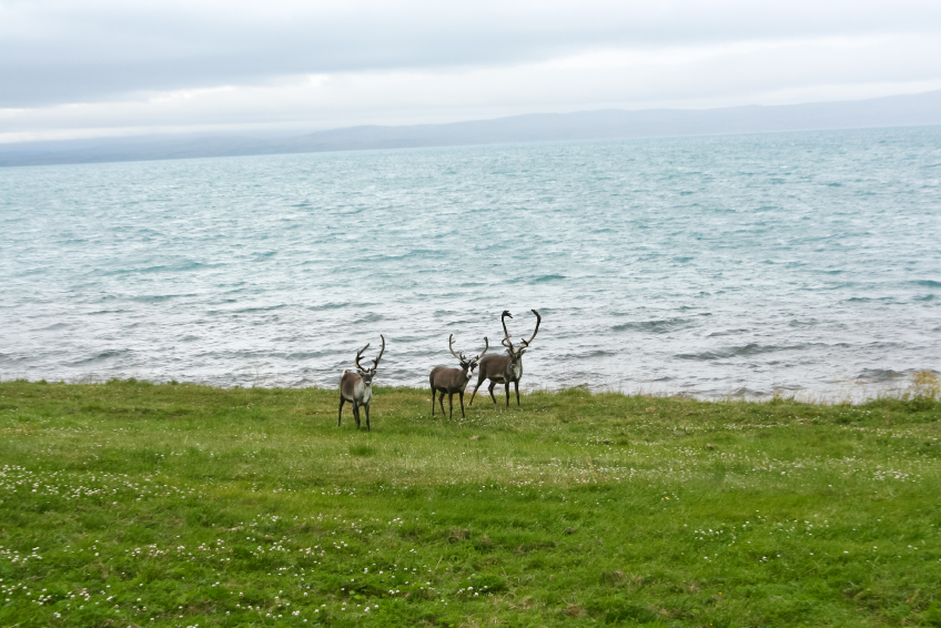 Reindeer in northern Norway. Did they miss the boat? (iStock)
