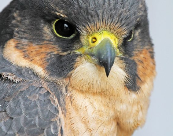 The endangered peregrine falcon was almost completely wiped out in the 70s. (iStock)