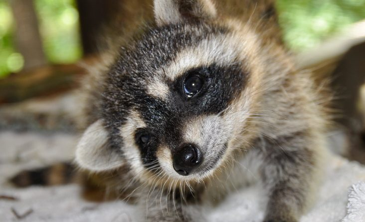 Raccoons are not native to Sweden, and officials are worried what might happen if they become prevalent. (iStock)