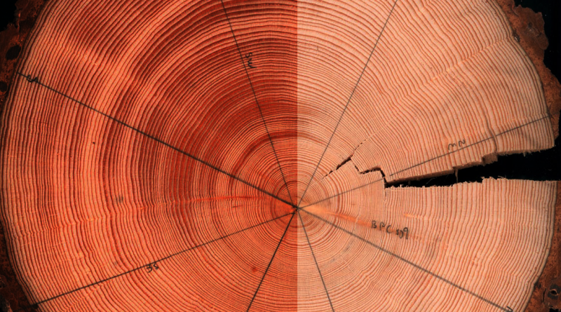 How is light effecting what tree rings tell us about changing Arctic temperatures? (Courtesy Zan Stine)