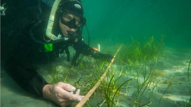 Per Moksnes and his colleagues are replanting eelgrass one plant at a time, (Eduardo Infantes Oanes / Radio Sweden)
