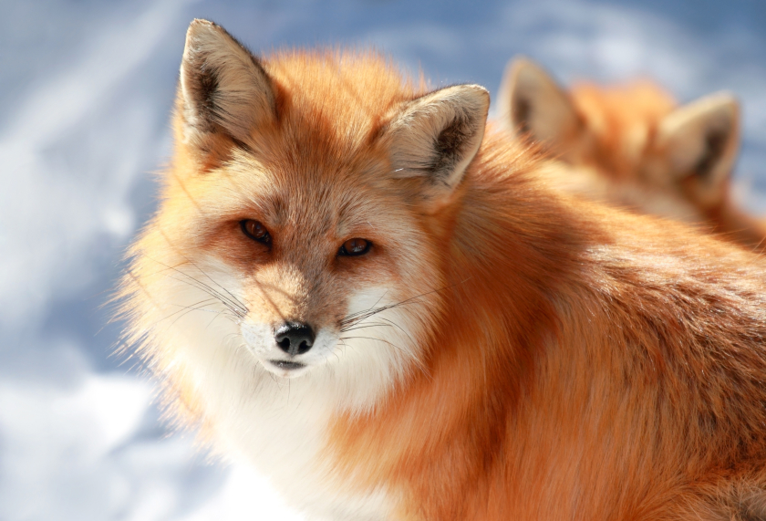 Garbage left by humans on Alaska's North Slope has been attracting red foxes to the region in droves. (iStock)