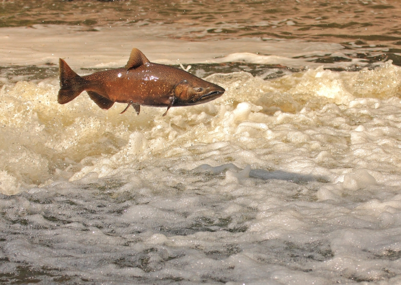 King salmon leaping out of the water as it tries to swim upriver during fall spawning run. (iStock)
