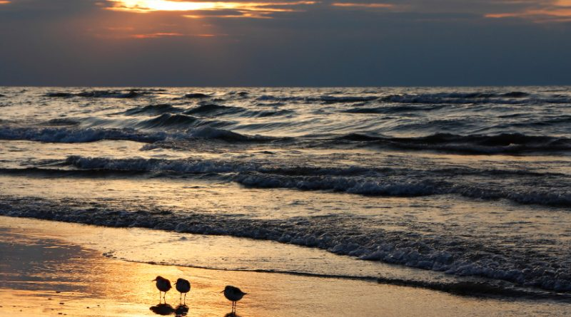 Semipalmated sandpipers on a beach in Canada. (iStock)