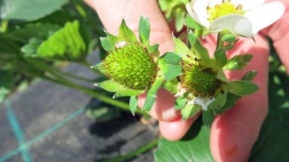 Berry development is well behind schedule this year. (Hillevi Antikainen / Yle)