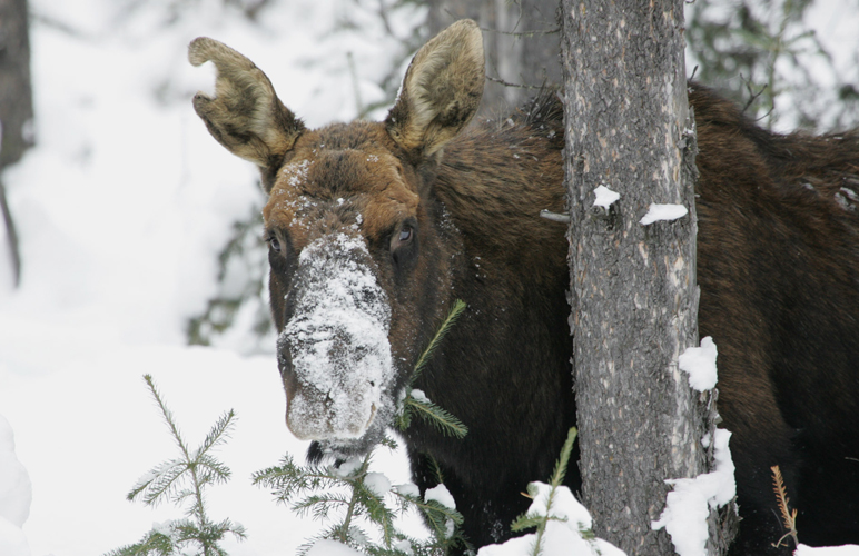 A moose in deep snow. Photo: National Park Service. Alaska Dispatch.