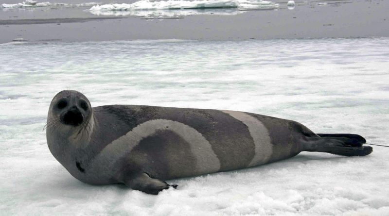 A ribbon seal rests on sea ice in the Bering Sea in 2007. (John Jansen/ NOAA / AP)