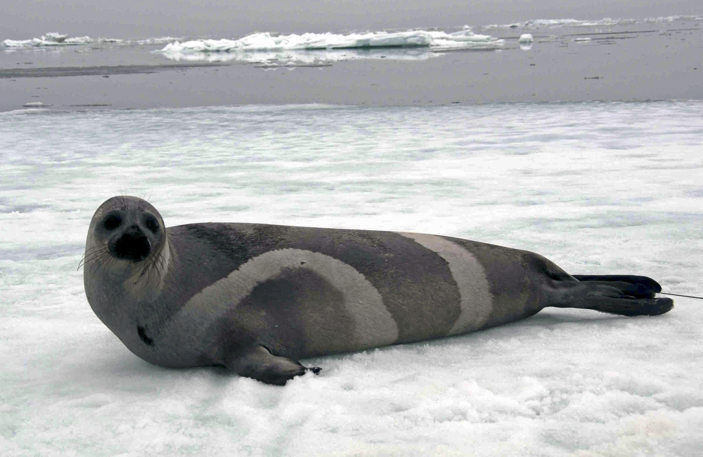 A ribbon seal rests on sea ice in the Bering Sea in 2007. (John Jansen/ NOAA / AP)